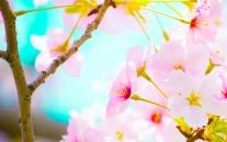 お花見、桜、春